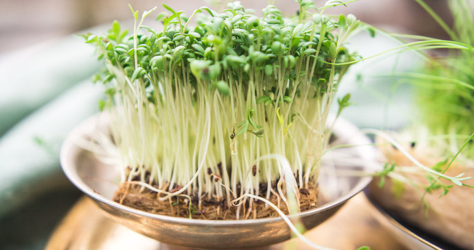 Plant buds are the elixir of health: how to sprout and what to look for?