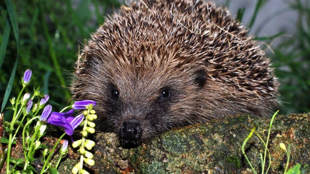 Cute hedgehogs have become fatal in New Zealand