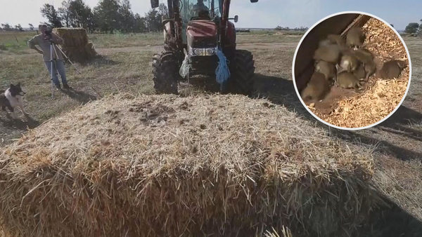 Millions of rodents flooded Australia, destroying crops
