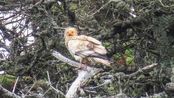 A rare predatory eagle appears in Britain for the first time in 150 years