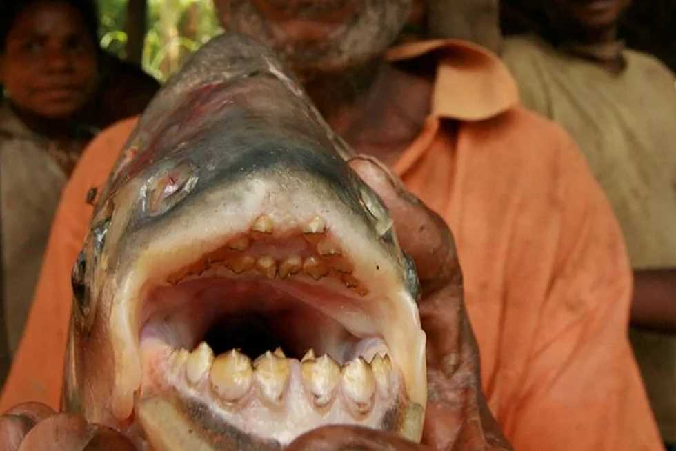 It feeds on human genitals. Environmentalists warn swimmers of the piranha