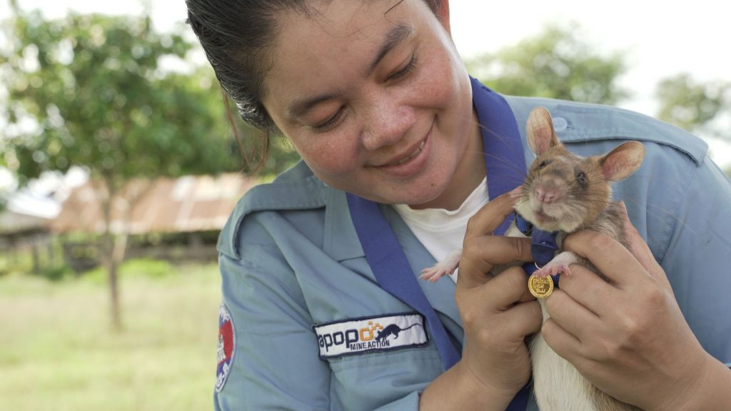 Rats sniff 71 landmines in Cambodia in five years, and will retire now