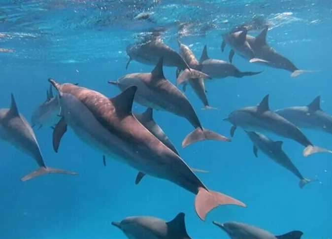 Dolphins in the Sunday Reserve in Marsa Alam