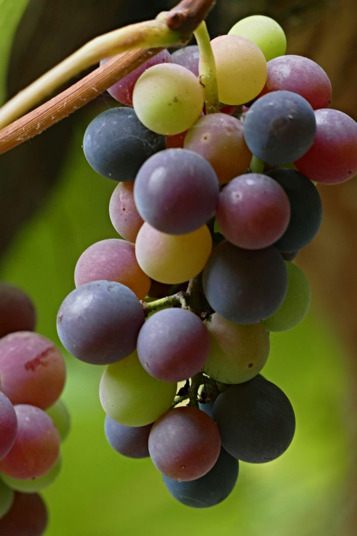 Georgia is a strength in grape growing, comparable to France, for example.  According to archaeological findings, vines grew here about eight thousand years ago.