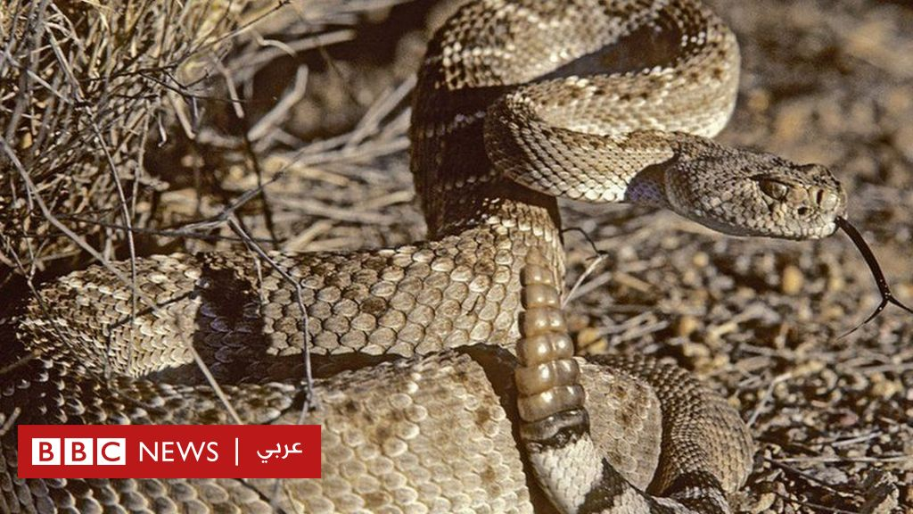 Rattlesnakes develop acoustic mechanism to 'trick the human ear'