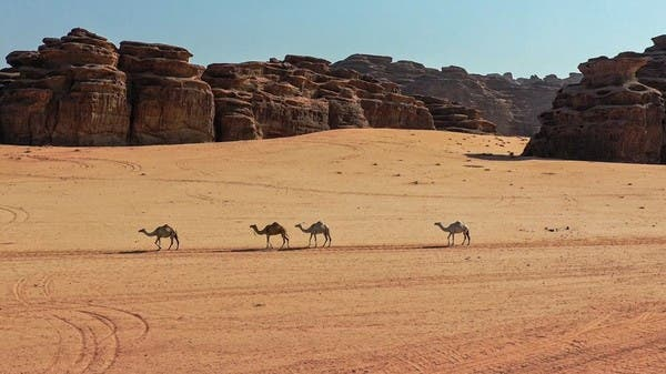 Camels walking among the mountains..a wonderful sight in northern Saudi Arabia