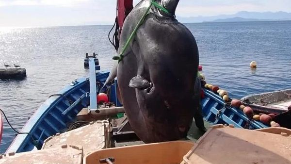 Catch a giant fish weighing 2 tons on a small tuna boat.. Photos